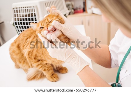 veterinarian checks teeth to a cat. medicine, pet, health care and people concept