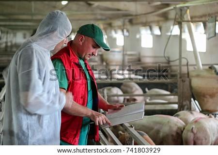 Veterinarian Doctor and Farmer in Pig Barn.Intensive pig farming.  Pig farm worker. Veterinarian doctor examining pigs at a pig farm. #741803929