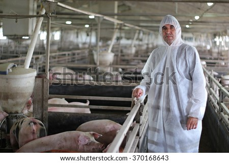 Veterinarian Doctor Wearing Protective Suit. Intensive pig farming. Pig farm worker. Veterinarian doctor examining pigs at a pig farm.