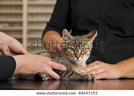 veterinarian examining a domestic cat