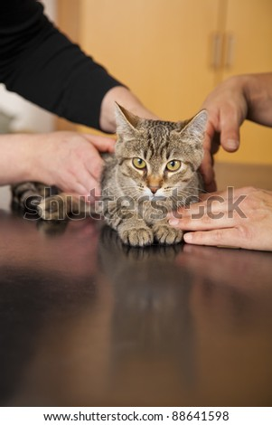veterinarian examining a domestic cat