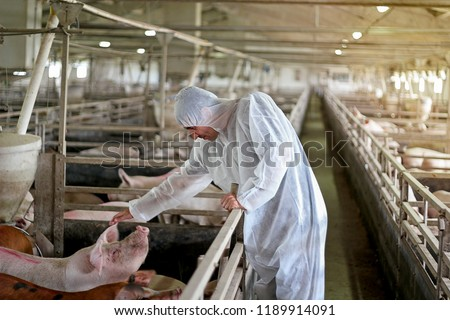 Veterinarian Examining Pigs at a Pig Farm. Veterinary doctor wearing protective clothing. Intensive pig farming. Pig farm worker.