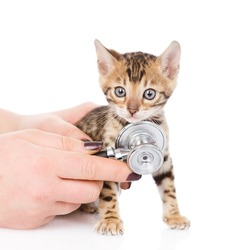 Veterinarian hand examining a bengal kitten. isolated on white background