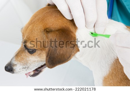 Veterinarian parasite mite removes of the dog's skin Stock photo ©