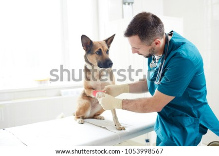 Veterinarian putting bandage on paw of german shepherd in clinics