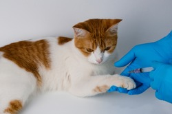 Veterinarians vaccinate an orange cat in the leg area to prevent rabies, leukemia, feline AIDS, and heartworm. at the clinic