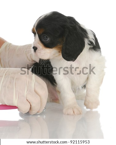 veterinary care - cavalier king charles spaniel getting examined by veterinarian with stethoscope
