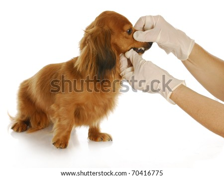veterinary care - dachshund being examined by veterinarian on white background