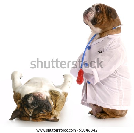 veterinary care - english bulldog dressed up like a veterinarian giving check-up to another dog