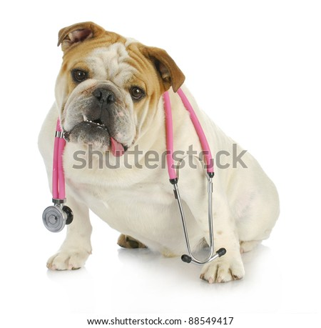 veterinary care - english bulldog with stethoscope around neck looking at viewer