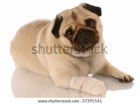 veterinary care - pug with bandaid on paw