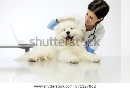 Veterinary checks the ears dog on the table in vet clinic