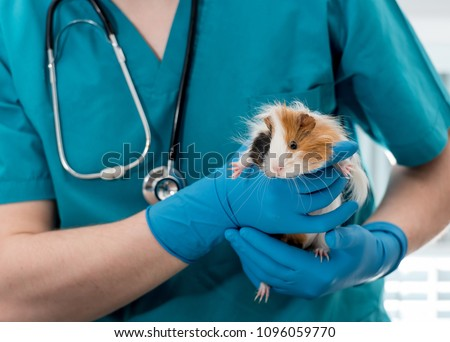Veterinary doctor holding guinea pig on hands