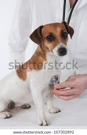 Veterinary. Dog Jack Russell terrier is having medical examination by vet.
