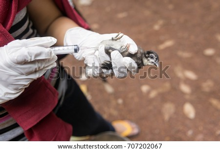 """Veterinary inject vaccine to chicken for prevent Poultry Diseases . Avian influenza is highly pathogenic avian influenza (HPAI). """"Bird flu"""" is a similar to """"swine ,"""" """"dog ,"""" """"horse ,"""" or """"human flu"""" . #707202067"""