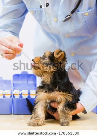 Veterinary is giving the medicine to the puppy of the Yorkshire - veterinary care concept