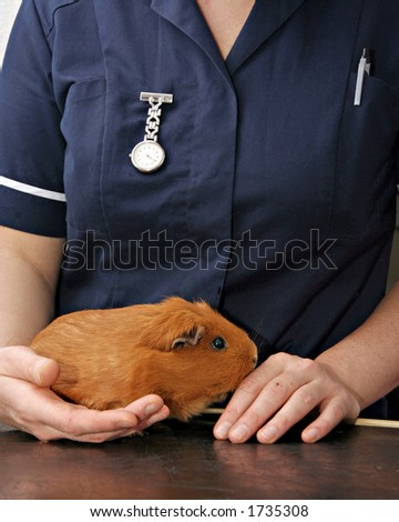 Veterinary Nurse holding Guinea pig