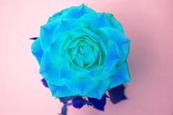 Vibrance blue rose on pink background.
