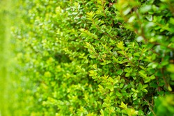 Vibrant boxwood bush texture. Light green bush texture. Green shrub in the garden for background and perspective.