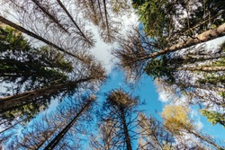 Vibrant colors of autumn forest with warm sunlight on evergreen pine foliage. Bottom view of tall pine trees woods nature at fall. Autumn pine forest nature. Autumn forest woods bottom view blue sky