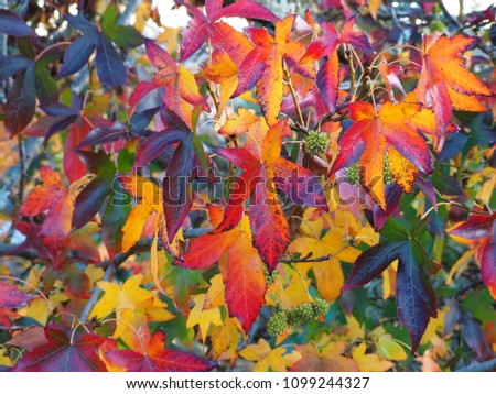 Vibrant colours of Liquidamber leaves in Autumn.