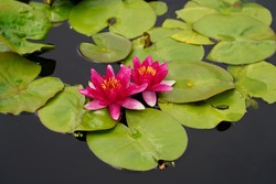 Vibrant flowers and lily pads at the Denver Botanic Gardens during the summer of covid19
