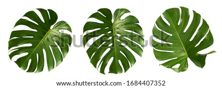 Vibrant Green Mostera Plant Leaves Against A White Background,clipping path inclu Foto stock ©