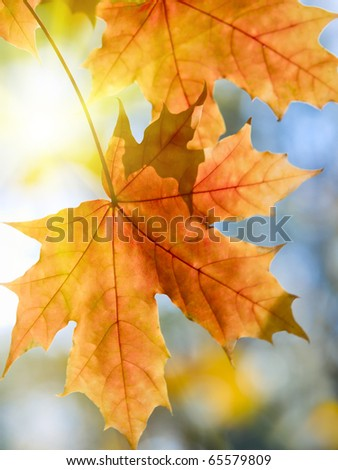 vibrant maple autumn leaves and sun shallow dof