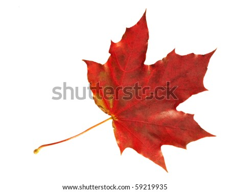 Vibrant maple leaf in scarlet  colors of fall isolated on white.