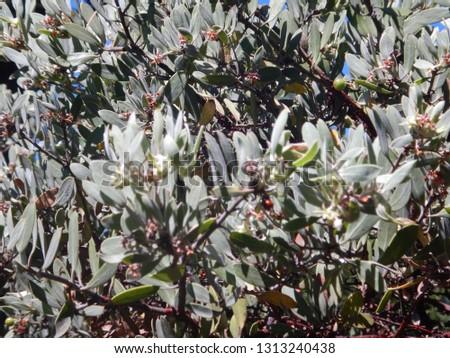 Vibrant Mexican Manzanita leaves