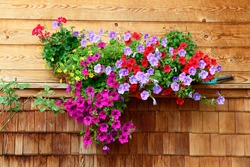 vibrant multicolored petunias hanging outside of wooden house