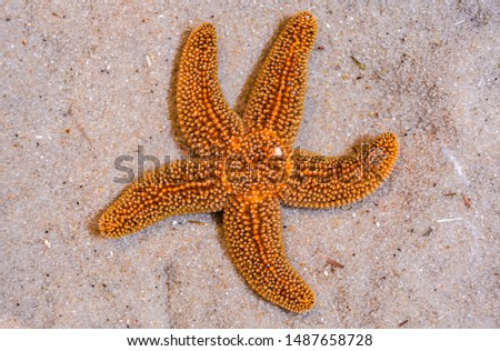 Vibrant orange and yellow starfish or seastar lives on the sandy tan ocean floor. This is an up close picture of the aquatic creature as it moves on the ocean floor in it's natural environment.