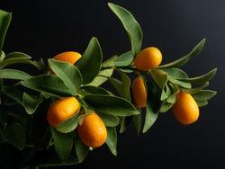 Vibrant orange citrus fruits on a kumquat tree on black background