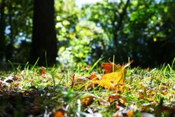 Vibrant orange fallen autumn leaf surrounded by green grass on the ground, illuminated by warm late evening sunlight with out of focus dark, natural green background.