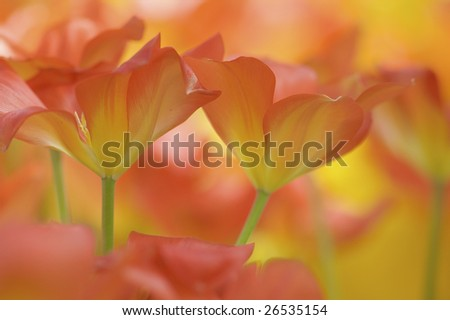 Vibrant orange tulips from Holland