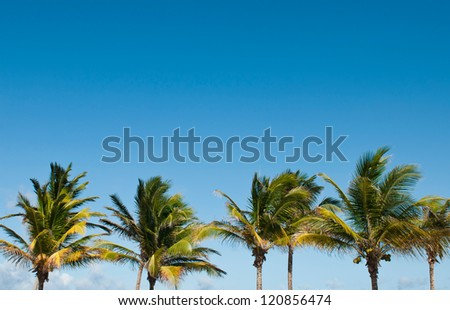 vibrant palm trees against a blue sky background in Saint Lucia