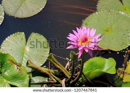 Vibrant Pink Blooming Lotus Flower with a Green Flower Bud in the Morning Sunlight #1207467841