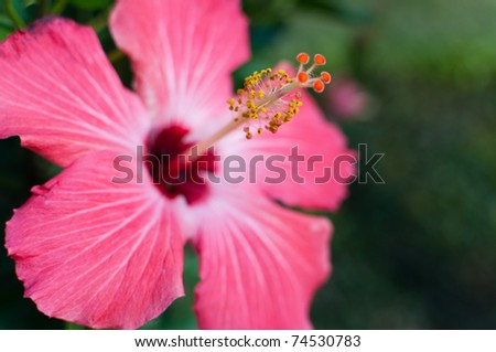 Vibrant, pink hibiscus with tropical background