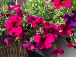 Vibrant pink purple blooming calibrachoa flowers and a bee collecting nectar from it close up in decorative flower pot outdoors, floral wallpaper background with balcony petunia flowers