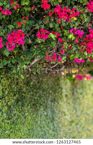 Vibrant pink, vibrant, vivid red bougainvillea flowers in Florida Keys or Miami, green plants landscaping landscaped street during summer day, sky, hedge, shrub bush wall, fence #1263127465