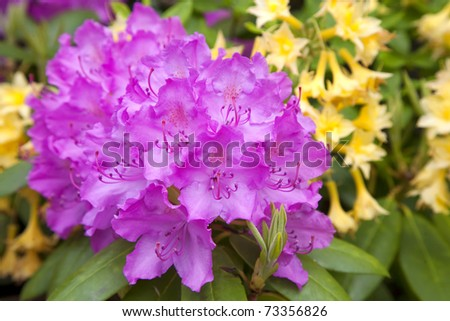 Vibrant pinkish purple rhododendron flowers in the foreground and yellow azalea flowers in the background.