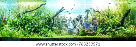 Vibrant Planted Aquarium with schooling of Tropical Fish. such as wild discus, Altum Angelfish and small tetra etc.