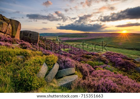 Vibrant purple heather being illuminated by the setting sun in the Peak District. #715351663