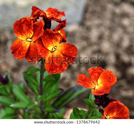 Vibrant red wallflower #1378679642