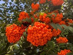 Vibrant ripe orange red rowan berries on a rowan tree branches bottom up view, beautiful colorful rowan berries in summer autumn garden