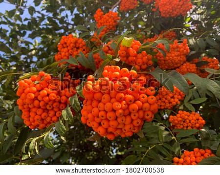 Photo of  Vibrant ripe orange red rowan berries on a rowan tree branches bottom up view, beautiful colorful rowan berries in summer autumn garden