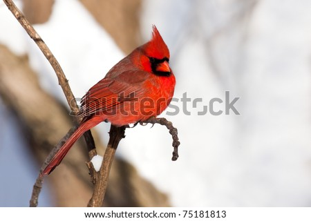 vibrant scarlet colored cardinal stands out in  snow covered woodland. majestic  bird is perched on a branch in the shallow focused snow kissed trees.