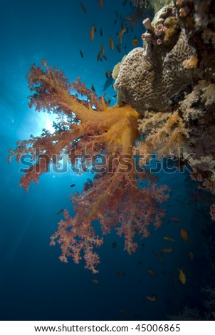 Vibrant Soft Broccoli coral (dendronephthya hemprichi) with sun in the background.