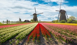Vibrant tulips field with Dutch windmills. Typical Netherland landscape.