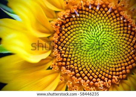 Vibrant yellow and orange macro of a sunflower